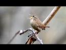 Пение птиц. Крапивник Troglodytes troglodytes..mp4