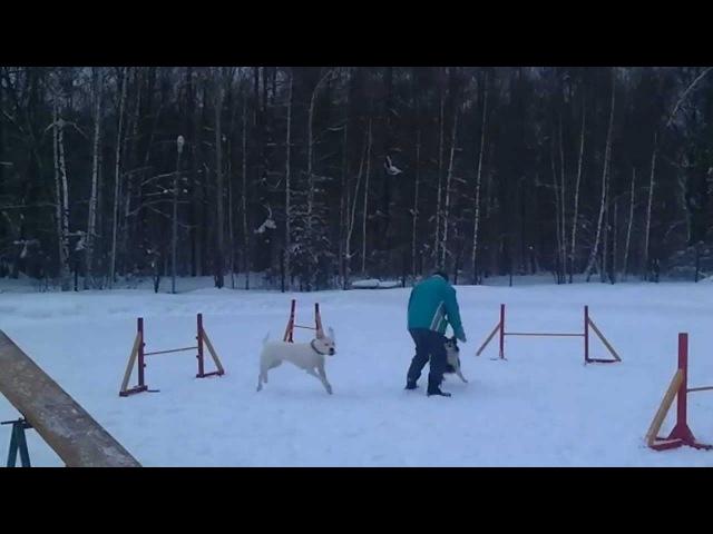 Dogo argentino and shetland sheepdog play on training on agility