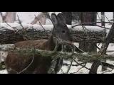 Siberian musk deer / Кабарга / Moschus moschiferus