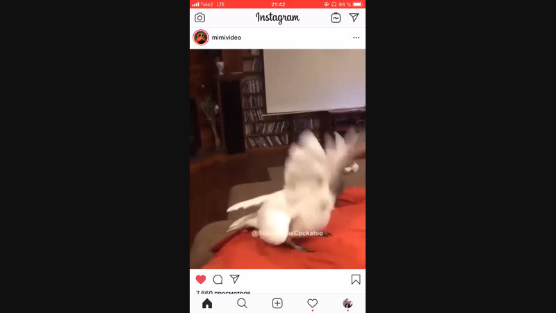 попуг для коськи