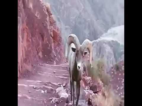 Козлик уступит дорогу, даже рискуя жизнью