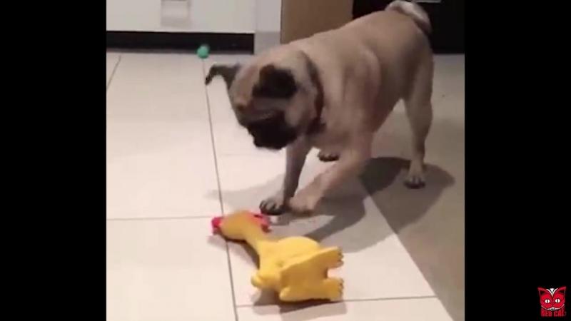 Смешная курица vs животные))