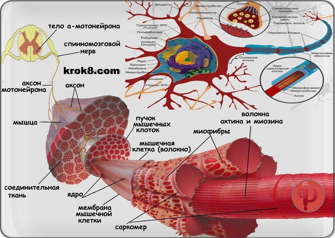 Перестройка мышечных волокон (клеток). Мышечная память.