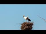 Дальневосточные аисты в гнезде