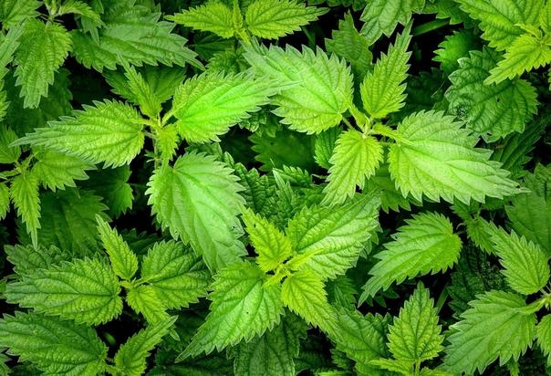 Крапива увеличивает устойчивость растущих рядом растений к болезням. Именно поэтому полезно мульчировать междурядья измельченной