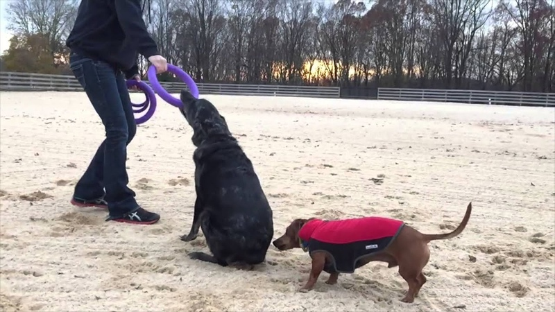 Puller Review with Ammo the Dachshund Trooper