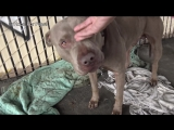 Two Pit Bulls tied with chains and locks abandoned under the freeway
