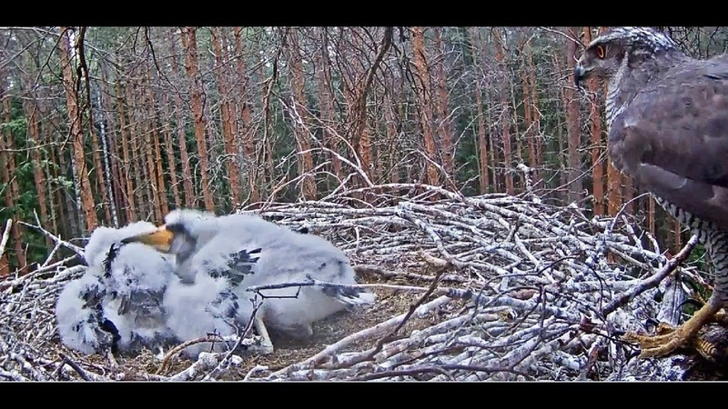 Must-toonekurg~A goshawk visti the storklets~6:08am 2018/06/17