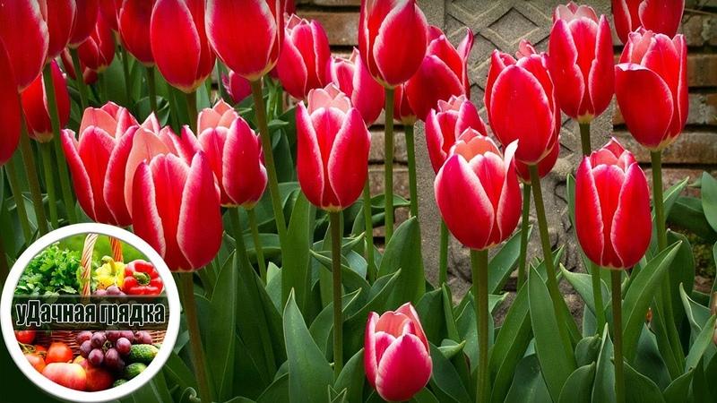 Высаживаем тюльпаны осенью Все секреты осенних посадок луковиц тюльпанов