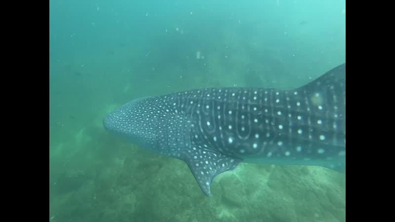 Китовая акула , милое создание )