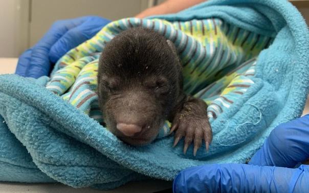 В США собака принесла домой щенка, держа его за холку. Но оказалось, что это медвежонок В Вашингтоне, штат Вирджиния, собака принесла домой чужого детеныша, который оказался медвежонком. Об этом