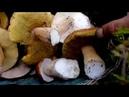 Царь гриб на косили белых и маховиков