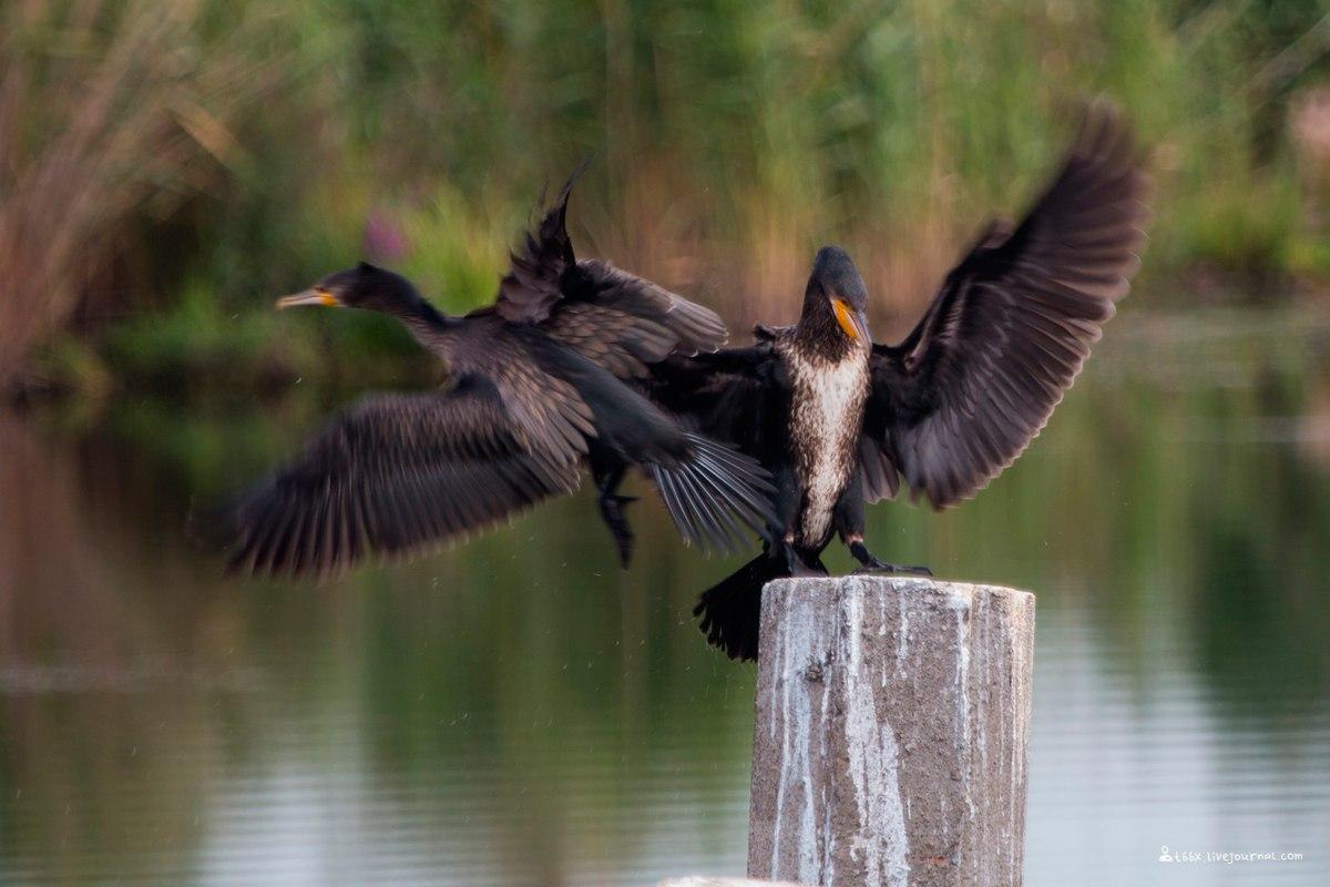 птицы Челябинска, большой баклан