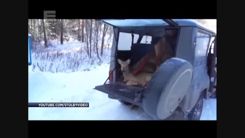 Стая бродячих собак загнала косулю в строительную яму спасли сотрудники Столбов