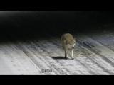 По улице разгуливает волк!