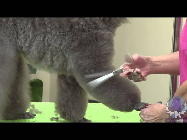 Grooming a Miniature Poodle Show Puppy