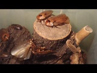 Брачные танцы гигатских тараканов (Archimandrita tesselata)