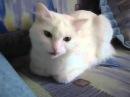 Говорящая белая кошка