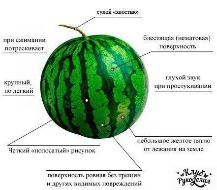 Как правильно выбрать арбуз (1 фото) - картинка