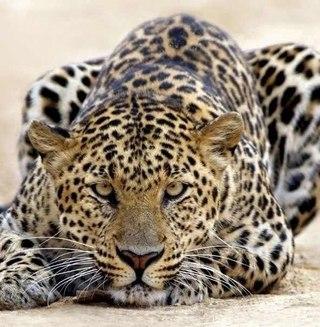 """Предпросмотр схемы вышивки  """"Леопард """" ."""