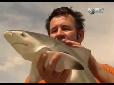 Бычья акула самая опасная акула в мире