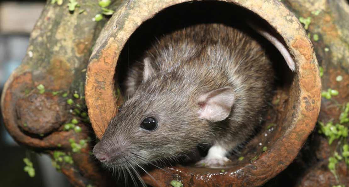 Крыса в стволе орудия