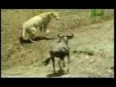 Лев с черным поясом по бразильскому Джиу Джитсуdoordie