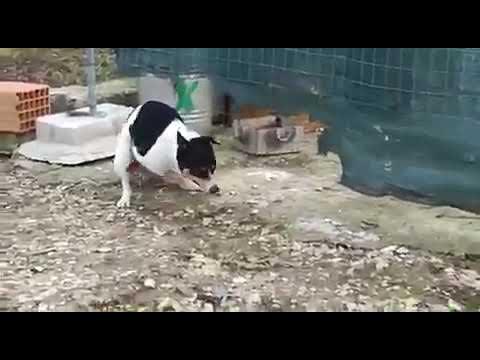 Pas navalio na kokoš :)