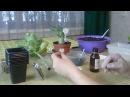 Размножение Адениумов черенками укоренение черенков адениума 1 часть