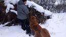 Монгольская овчарка - банхар. Азаар: Что то я за праздники вес набрала, надо худеть!