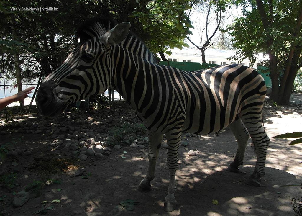 Зебра в зоопарке Алматы