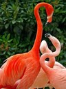Чудесные фламинго