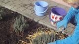 Как подготовить лаванду к зиме, полезные советы о выращивании и уходе за лавандой