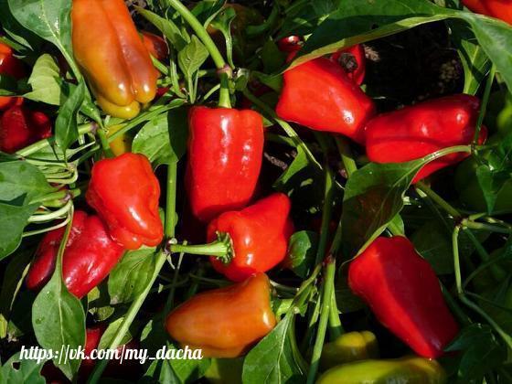 10 ошибок при выращивании перцев