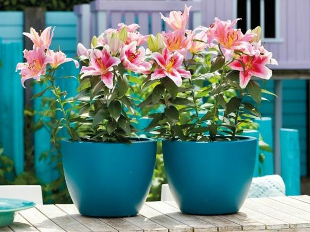 Как выращивать лилии в доме Лилии изящный и очень красивый цветок. Выращенные в горшке, они не только будут радовать глаз и доставлять наслаждение приятным ароматом, но и станут замечательным