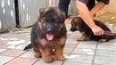 ТОЛСТЯЧКИ Thick funny puppies Немецкая овчарка Щенки 2 мес