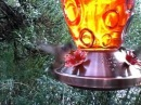 Selasphorus rufus Hummingbird Feeding Frenzy at San Isbel National Forest Colorado