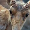 Кампания против незаконной торговли рогами сайгаков