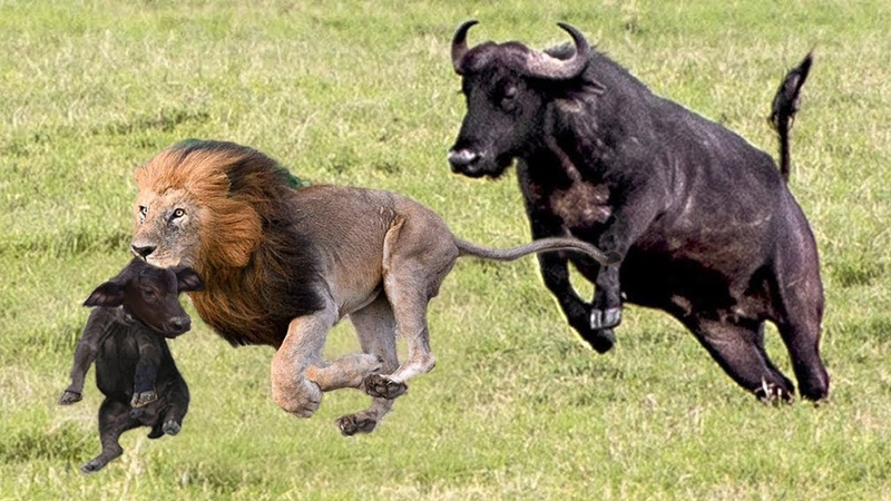 LIVE Dramatic Buffalo Mother Chase Lions To Take Baby Been Steals Craziest Animal Fights BBC