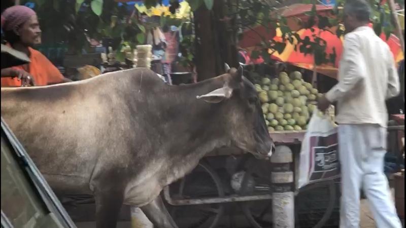 Корова в Индии священное животное