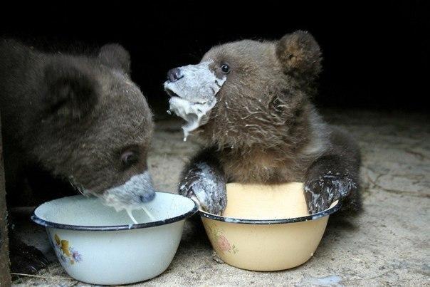 Медвежатки кушают