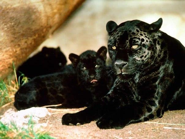 Секс ягуар и пантера и их детёныши