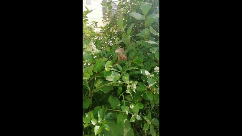 Игуана на свободе