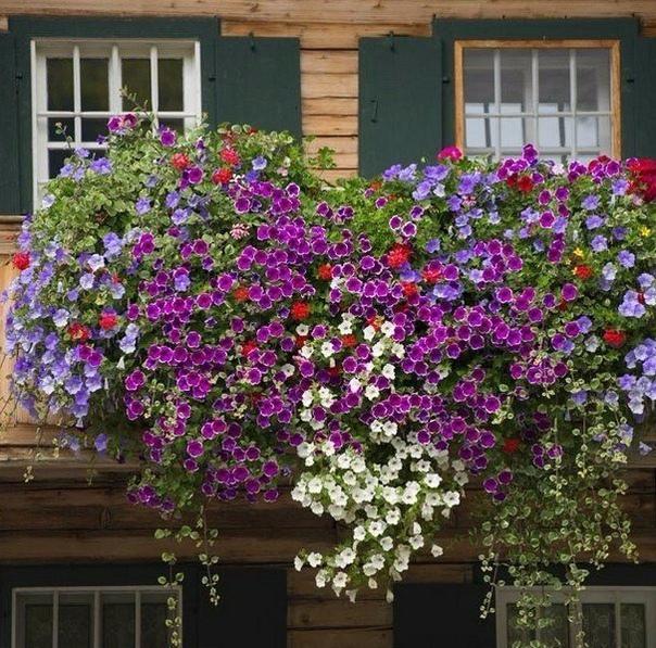 пятерка цветов для вашего балкона. 1.вербена - низкорослое растение с мелкими, очень красивыми цветками, похожее на примулу. цветки душистые, с белыми глазками внутри. когда растение достигнет