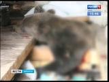 Застрелить медведя пришлось полицейским в Усть Куте