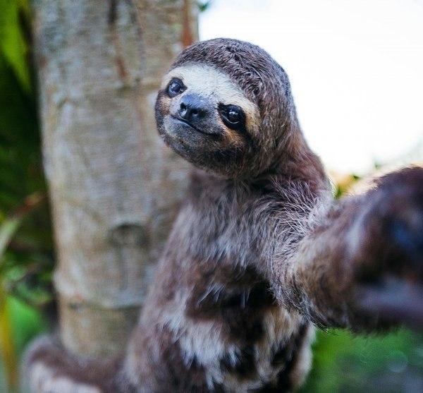 Даже ленивец может сделать селфшот