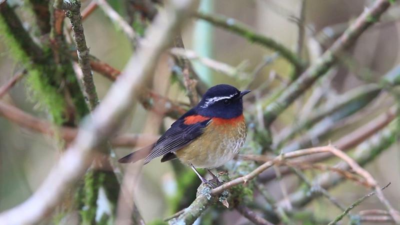 Collared bush robin Тайваньский соловей Tarsiger johnstoniae