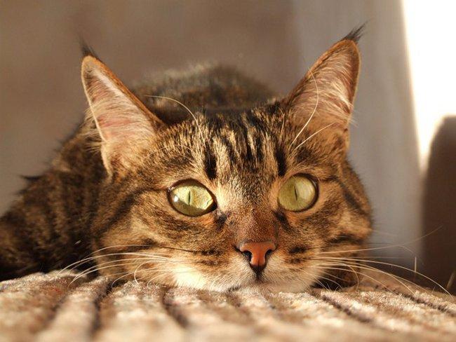 Как кошки видят в темноте