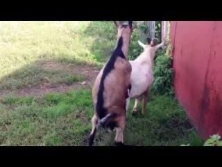 Секс с козой смотреть онлайн