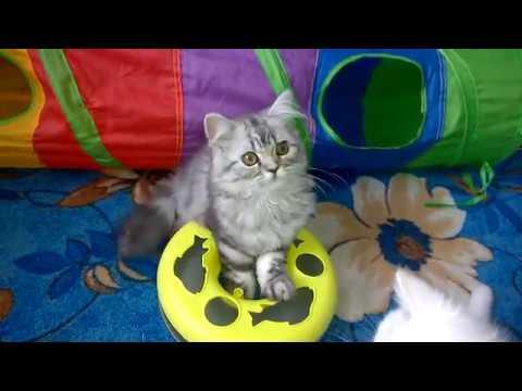 Мраморная кошка - хайленд страйт Эка